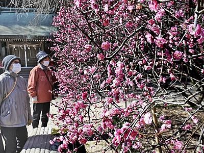 境内で紅白の梅かれん共演 敦賀市常宮神社で満開
