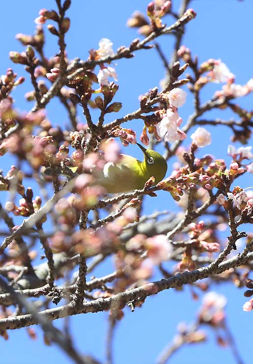 花の蜜を求め、開花が進むカンザクラに止まるメジロ=12日、天龍村平岡