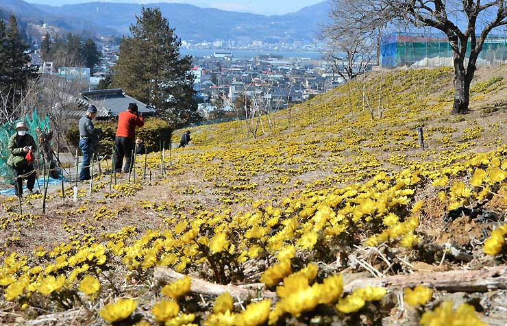 諏訪湖を望む斜面を黄色く染めたフクジュソウ=12日、諏訪市湖南