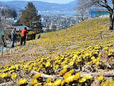 諏訪湖見下ろす高台、春色 諏訪でフクジュソウ見頃