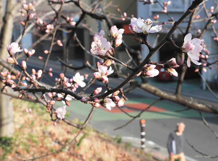 柔らかな日差しを浴びて開花した長野市立長野図書館のロトウザクラ=14日
