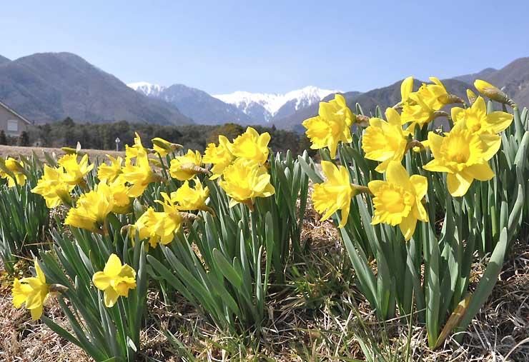 青空と残雪の山並みを背景に鮮やかな黄色の花を咲かせるスイセン