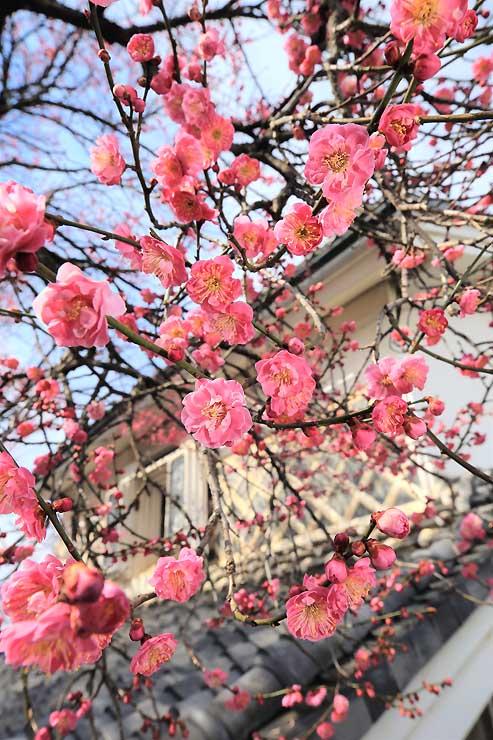 なまこ壁の土蔵を背景に、花を咲かせる紅梅の古木