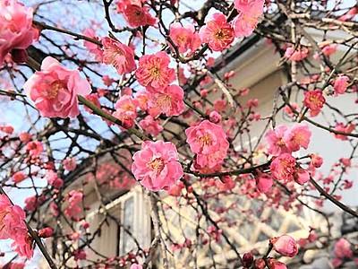 甘い香り、古木の紅梅 飯田城主にゆかり、樹齢400年
