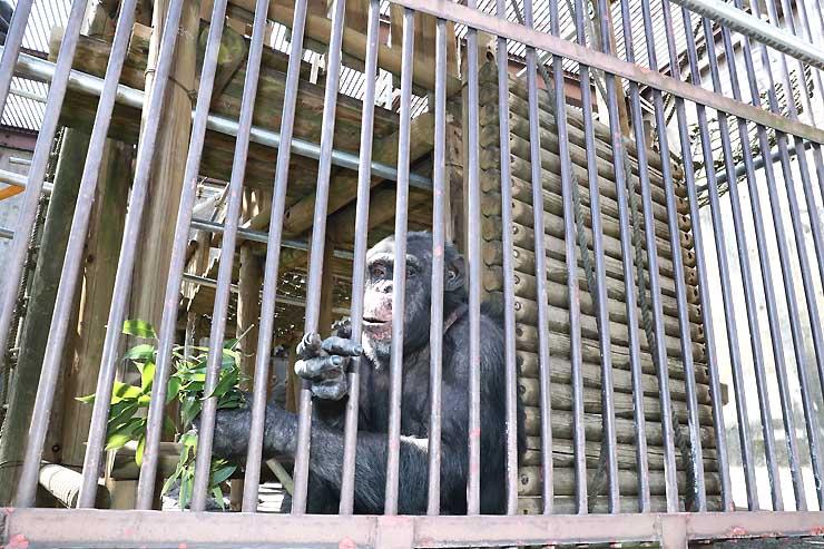 チンパンジーの獣舎に設置された木製の遊具