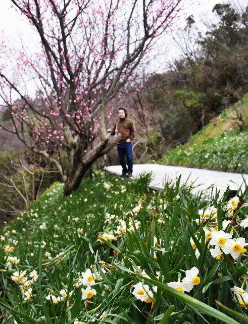 ハナモモと一緒にかれんな花を咲かせる越前水仙=16日、福井県越前町血ケ平の越前岬水仙ランド