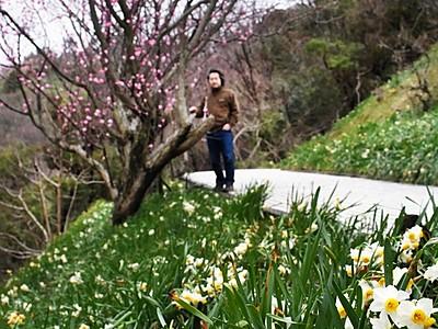 冬の越前水仙とハナモモが競演 福井県越前町
