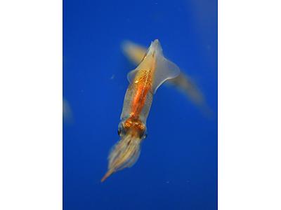 ホタルイカ展示開始 魚津水族館