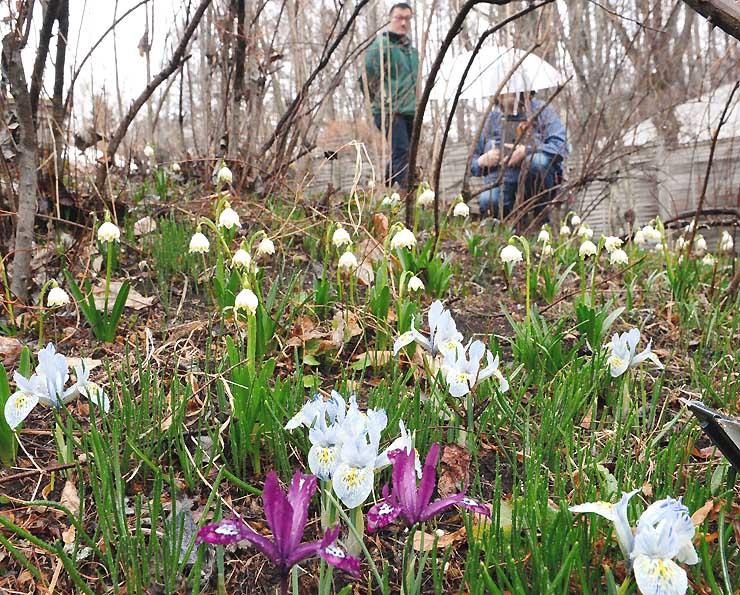 「春告げ花」の別名を持つスノーフレーク(奥)。ミニアイリスは薄い水色や紫色の花を付けている