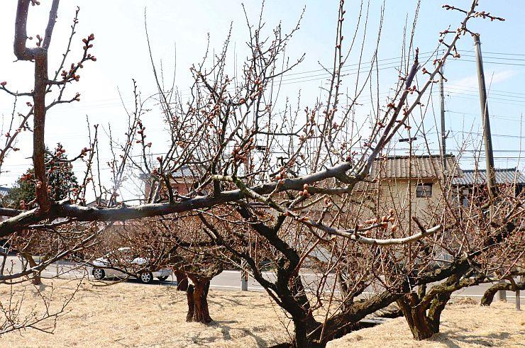 大雪や低温の影響で開花が遅れているため、まだつぼみの状態の梅=新潟市江南区