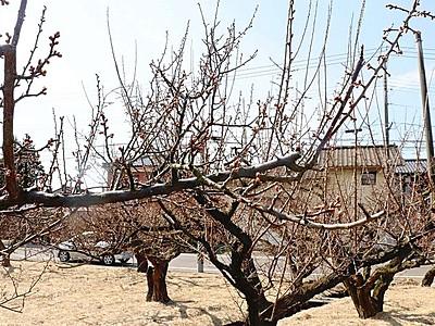 春の香り待ち遠しい 亀田で「梅の陣」開幕 新潟市江南区
