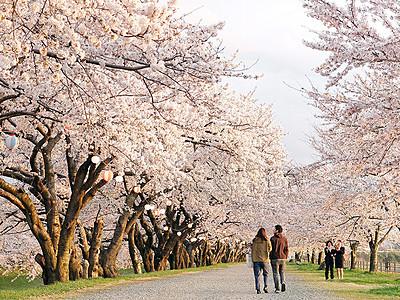 春の四重奏楽しんで 朝日、4月「かがり火の夜桜」