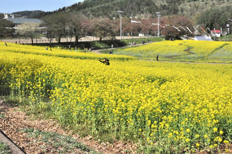 おさんぽバスの周遊コースの一つの菜の花公園=昨年5月、飯山市瑞穂