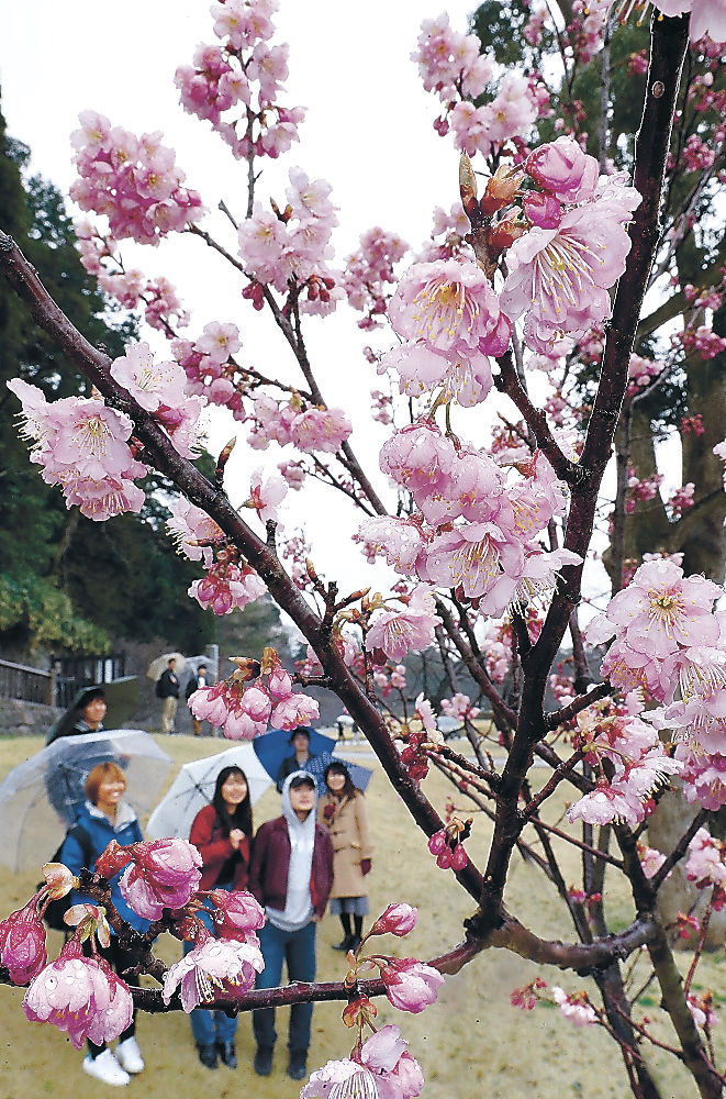 見頃を迎えたツバキカンザクラ=金沢城公園玉泉院丸庭園