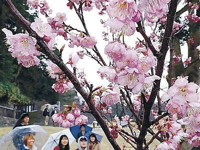 玉泉院丸庭園の早咲き桜見頃