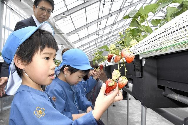 イチゴを摘み取る園児たち=22日、福井県高浜町和田