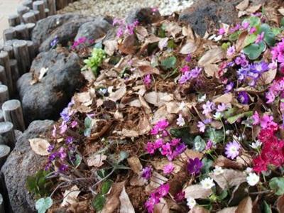 鮮やかな花々春彩る 長岡・越後丘陵公園 雪割草まつり