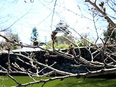 松本の桜、開花はいつ? 催し主催者やきもき