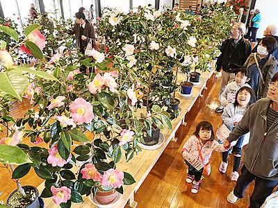 南砺いのくち椿まつり開幕 350種1000点咲き誇る