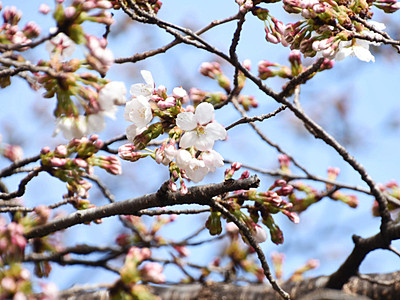 信州に春 天龍でソメイヨシノ開花宣言