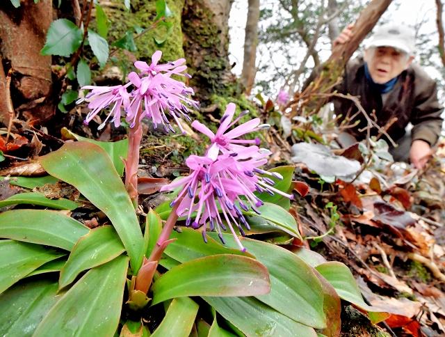 遊歩道の脇で愛らしい花を咲かせるショウジョウバカマ=福井市の足羽山
