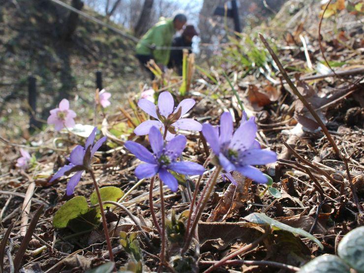 見頃を迎えた雪割草が咲き誇る園内=25日、柏崎市西山町大崎