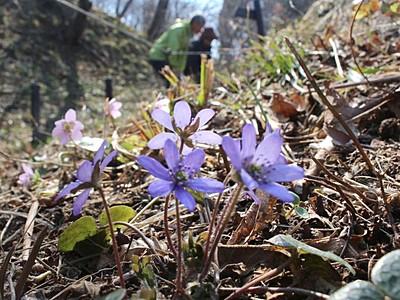 春の訪れ喜び満開 柏崎で雪割草見頃