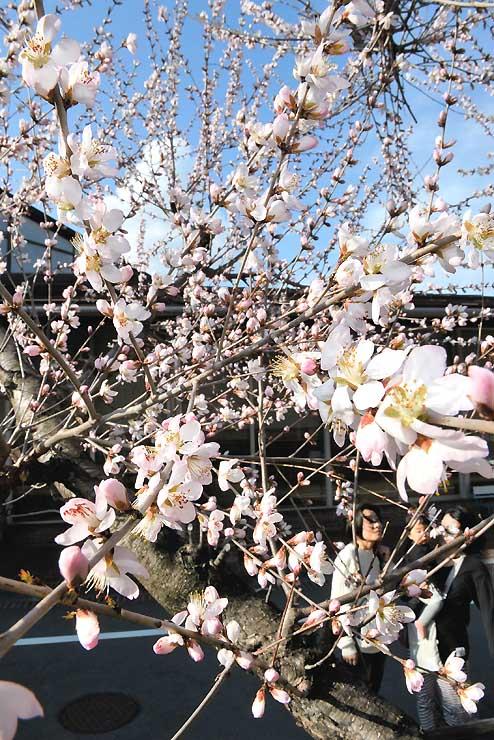 暖かな陽気に開花が一気に進んだ岡谷市立岡谷図書館のロトウザクラ=27日