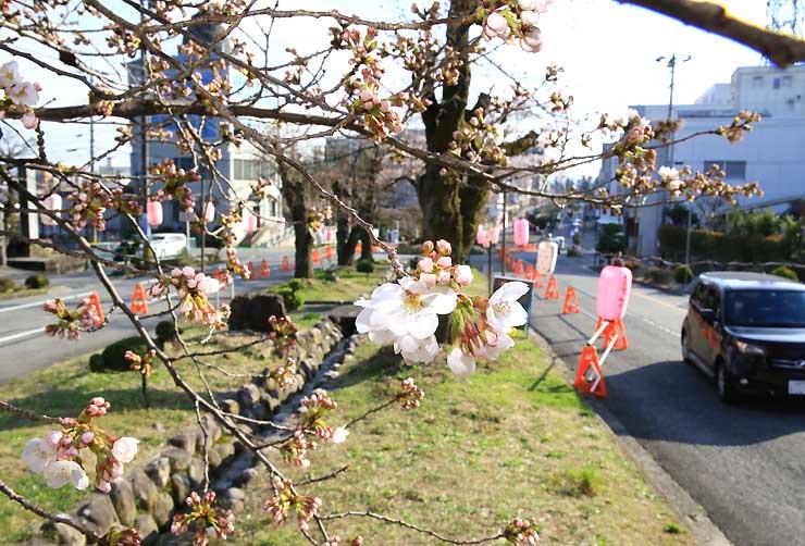 車道を片側2車線から1車線に減らす社会実験が行われている大宮通りで開花したソメイヨシノの標準木=27日