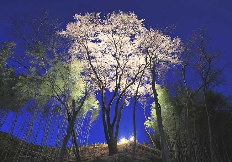ライトアップされ、竹林の中で浮かび上がる「しあわせ桜」=28日午後6時50分、飯田市時又