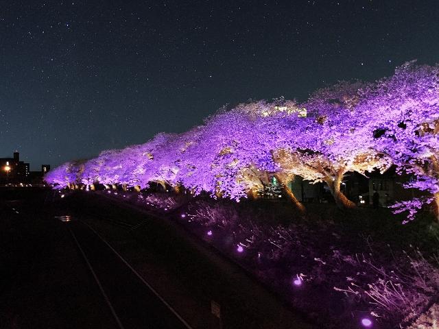 紫色にライトアップされる足羽川桜並木のイメージ