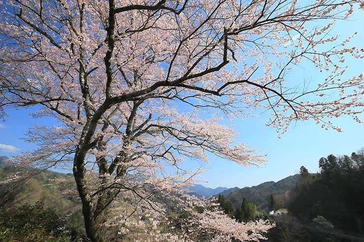 阿南町の高台で咲き誇る「春告桜」