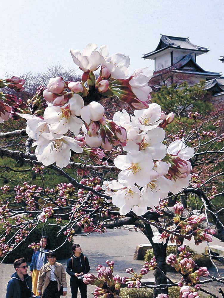 例年より早く開花が進んでいるソメイヨシノ=金沢市丸の内