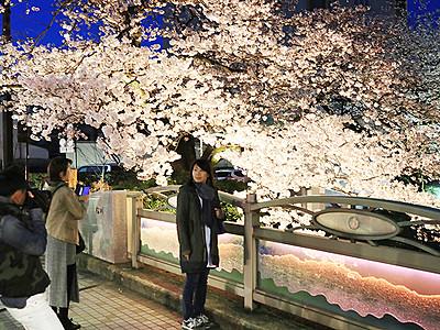 満開の夜桜楽しみ乾杯 富山
