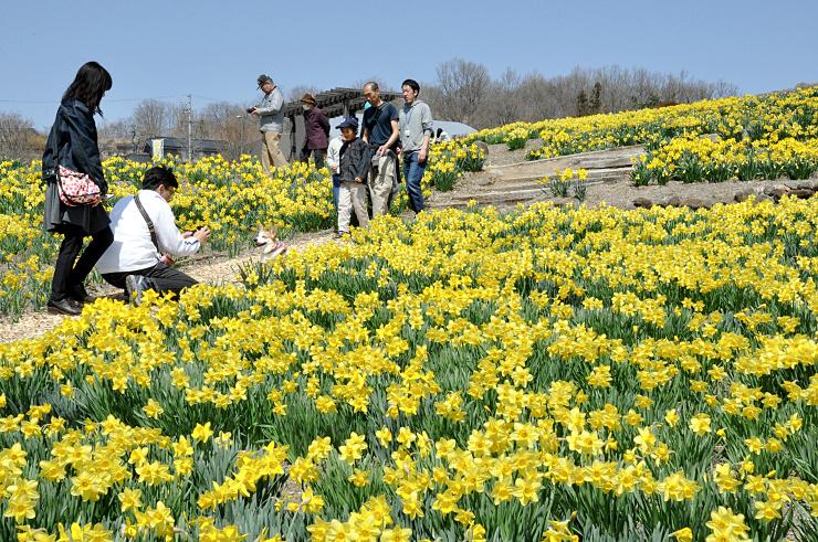 南向きの斜面にスイセン約10万本が咲き誇る信州国際音楽村。開花が進んでおり、見頃は4月初めまでという