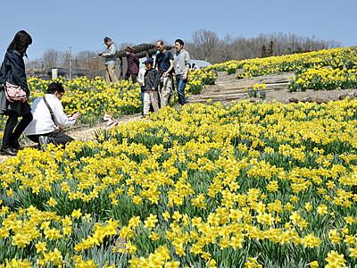 咲き競う上田の春 「すいせん祭り」開幕