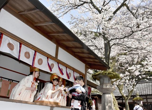 満開の桜の下、福娘と花換えをする花見客=4月1日、福井県敦賀市の金崎宮