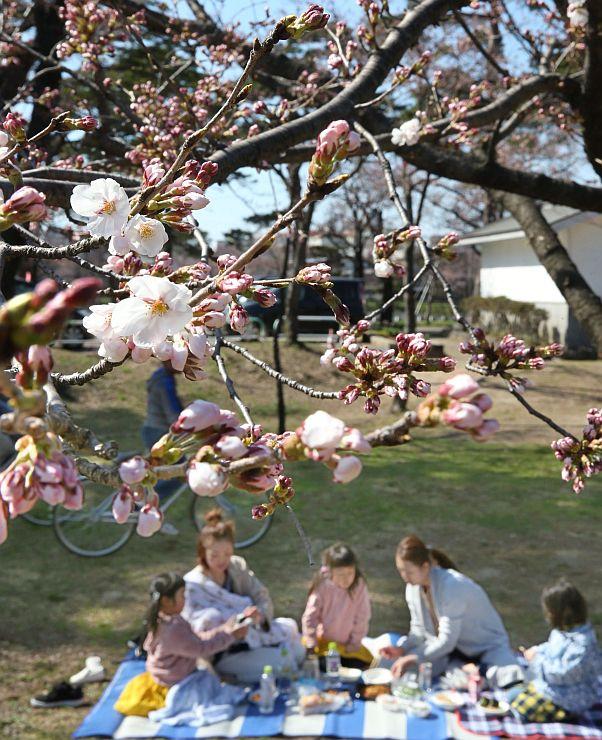 平年より9日早く開花した高田公園の桜。桜の下では親子連れらが早くも花見を楽しんでいた=3月30日、上越市