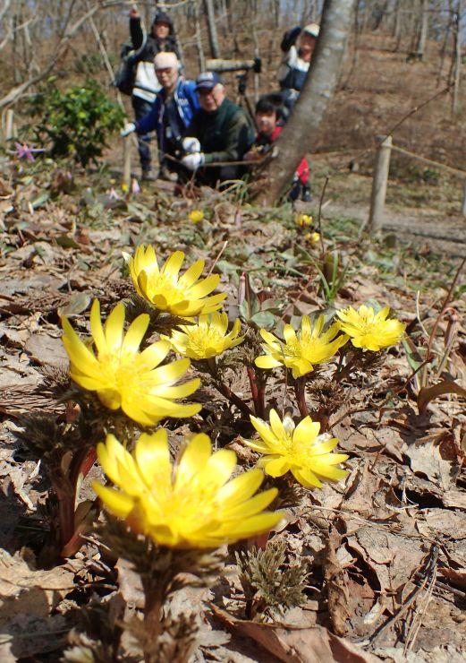雪解け間もない雑木林で、フクジュソウなどが咲き誇る雪国植物園=3月31日、長岡市