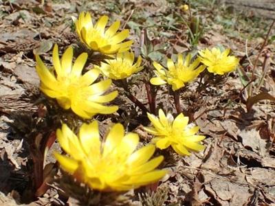 春の妖精かれんに 山野草が一斉に開花 長岡・雪国植物園