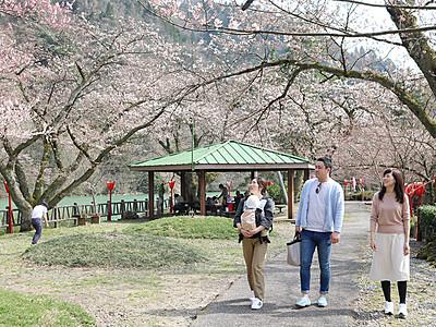 庄川峡桜まつり開幕 砺波