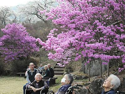 ミツバツツジと桜、共演楽しむ 南木曽の天白公園