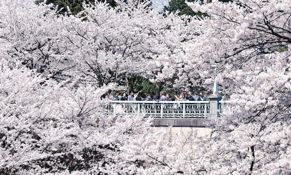 金沢で満開宣言が出され、花見客でにぎわう兼六園周辺=石川橋