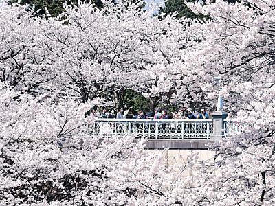金沢で桜満開 過去6番目に早く
