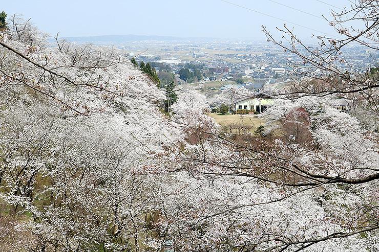 満開に近い城ケ山公園の桜=4月3日午前撮影