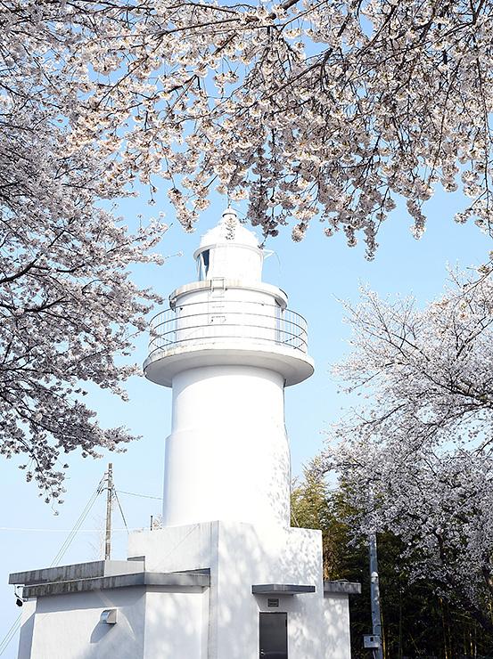 桜が咲き誇る灯台周辺