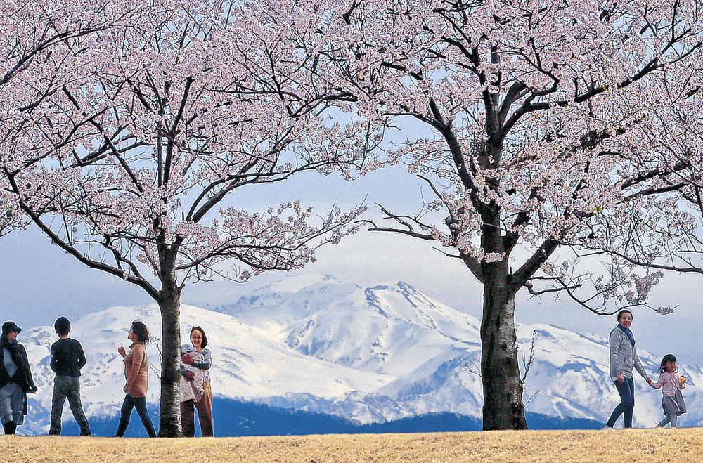 雄大な白山と満開の桜が織り成す眺めを楽しむ家族連れ=川北町与九郎島
