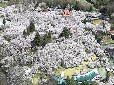 「天下第一の桜」一気に 伊那の高遠城址公園