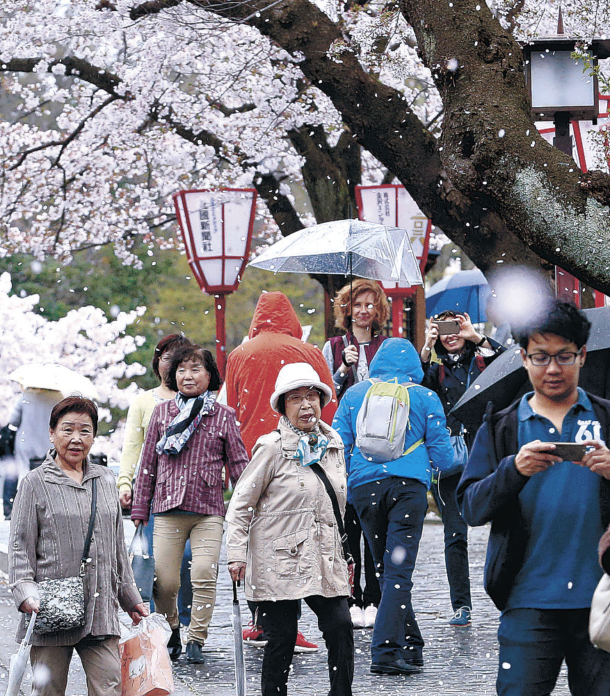 強風で桜が舞い落ちる園内を散策する観光客=兼六園
