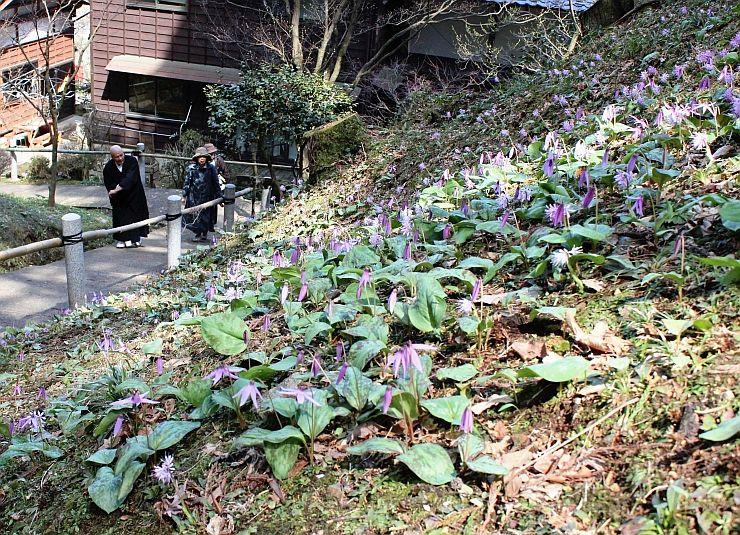 春の山野草が見ごろを迎えている普済寺=5日、村上市